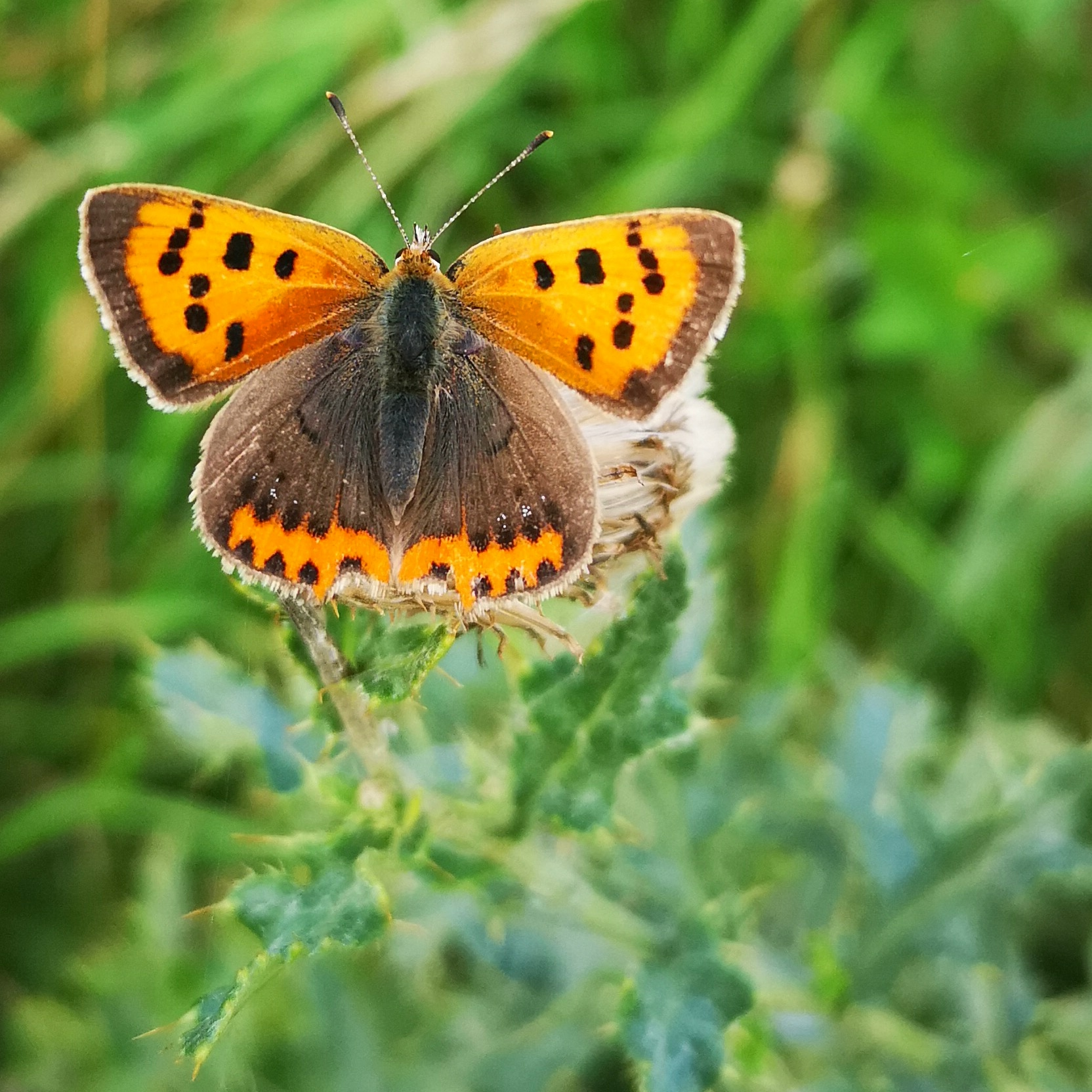 Small copper butterfly - orange with black spots.